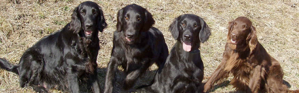 Les Flat Coated Retriever du ROC DE TOUGNE